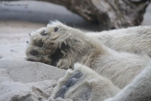 Polar Bear Feet - San Diego Zoo